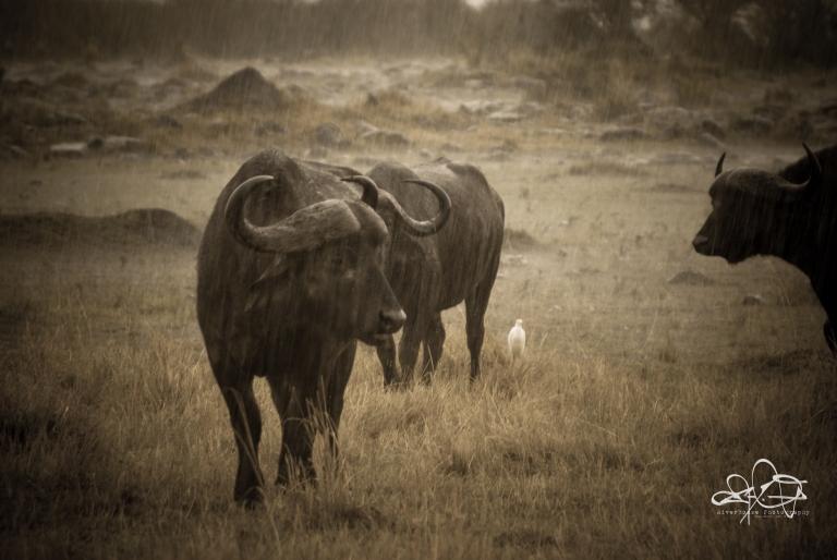Water Buffalo in the Rain-1