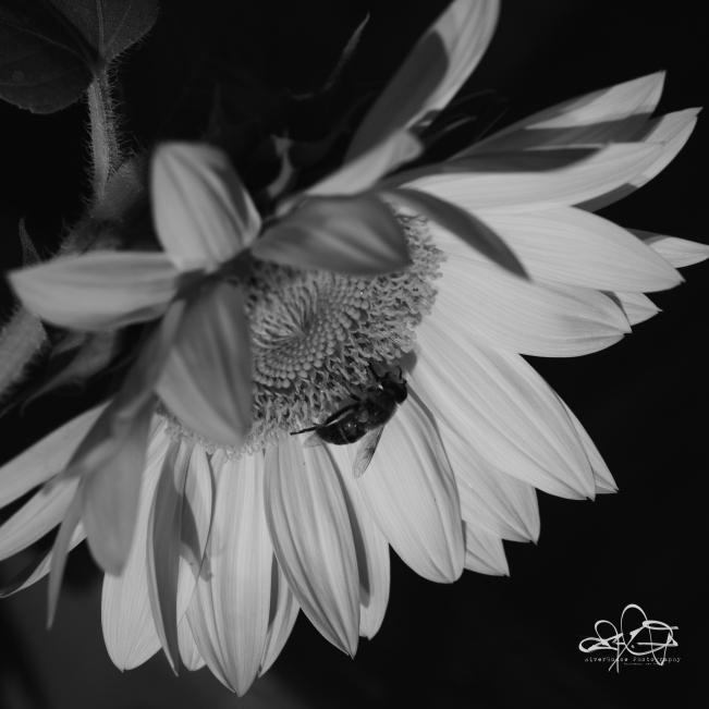 BeeOnSunflowerBW-