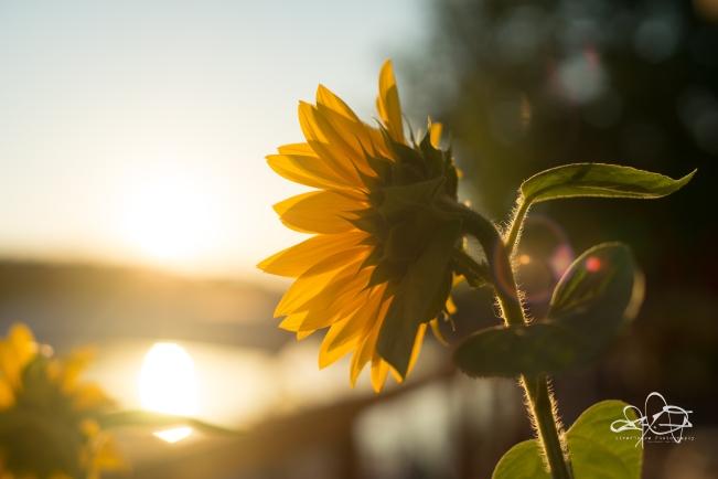 Sun flower-090