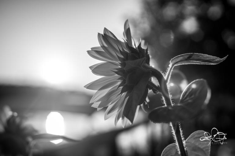 SunflowerBW-090